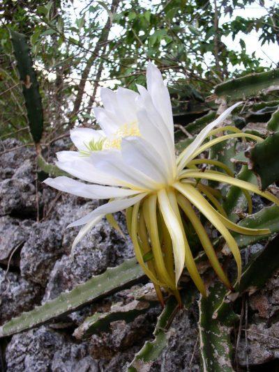 Los Hylocereus triangularis son cactus de flores grandes