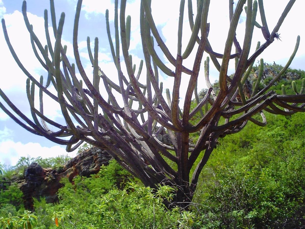El Pilosocereus azureus es un cactus de gran tamaño