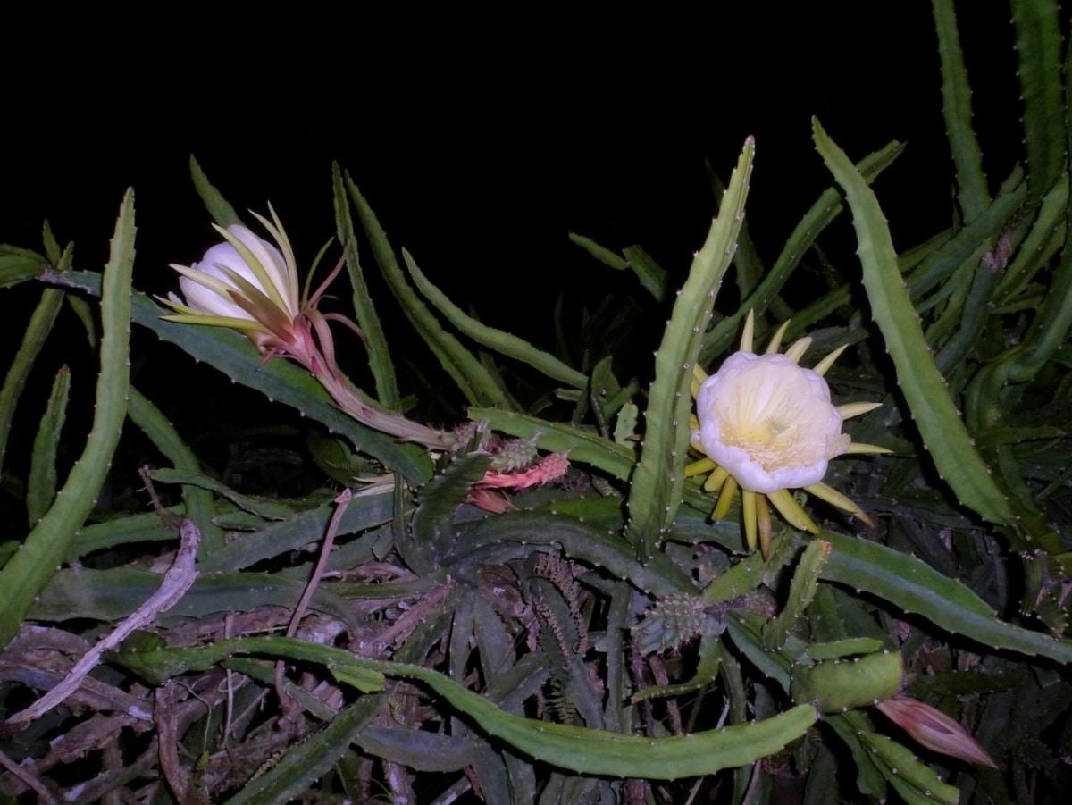 La pitahaya amarilla tiene frutos de color amarillo