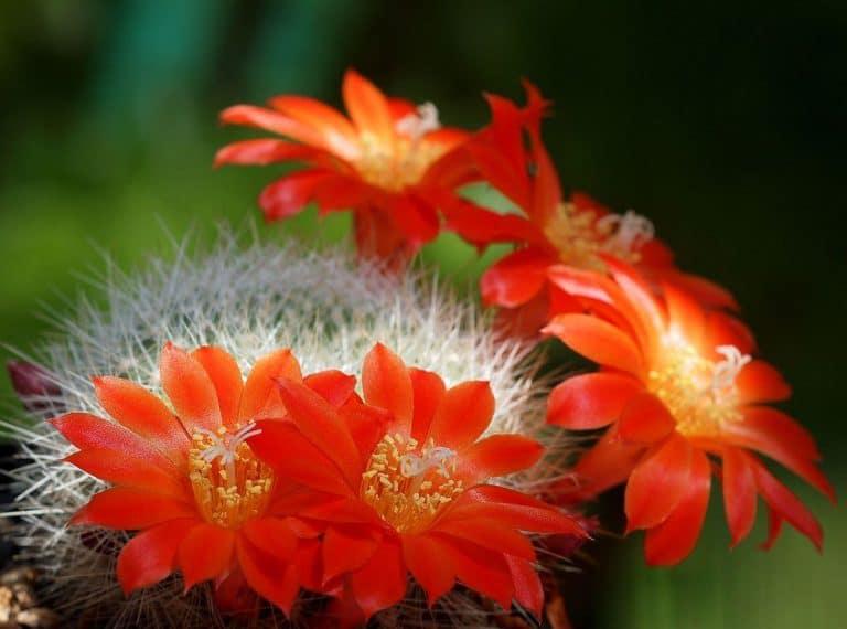 Las Rebutia son cactus pequeños