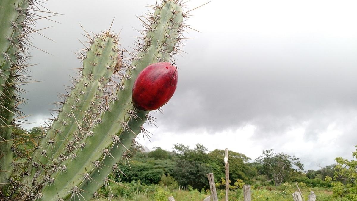 El Cereus jamacaru es un cactus grande