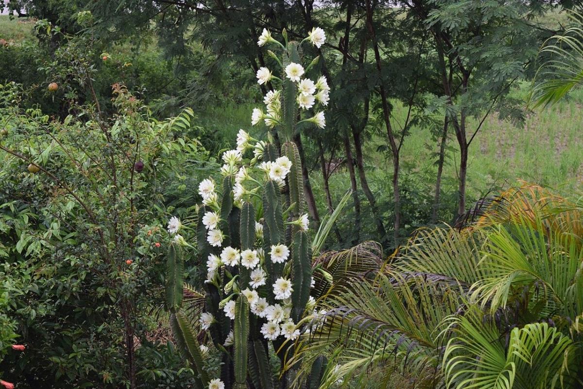 El Cereus jamacaru es tropical