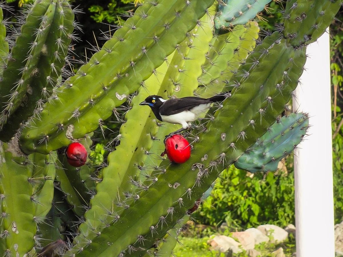 El Cereus jamacaru es una planta espinosa
