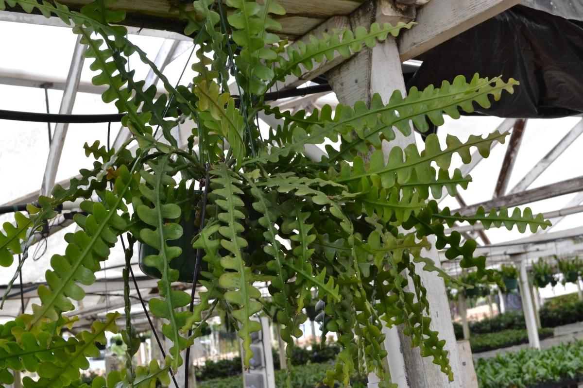 El Epiphyllum anguliger es un cactus colgante