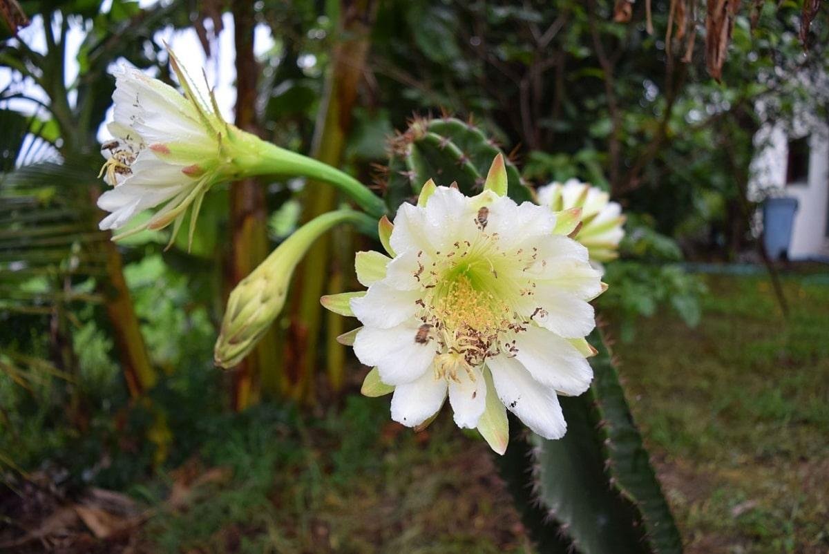 El Cereus jamacaru es un cactus arbóreo