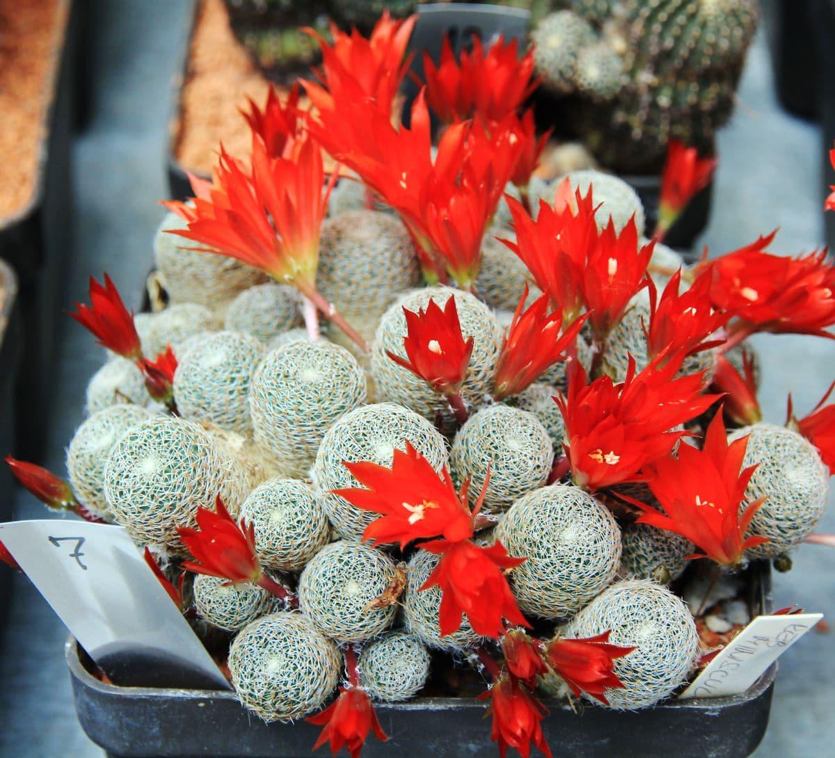 La Rebutia heliosa es un cactus pequeño