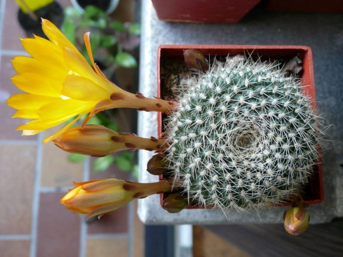 La Rebutia krainziana es un cactus de espinas blancas