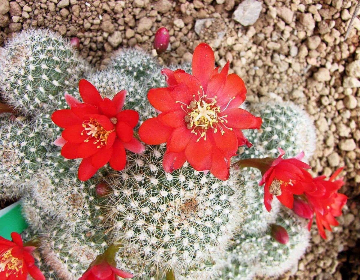 La Rebutia minuscula da flores rojas