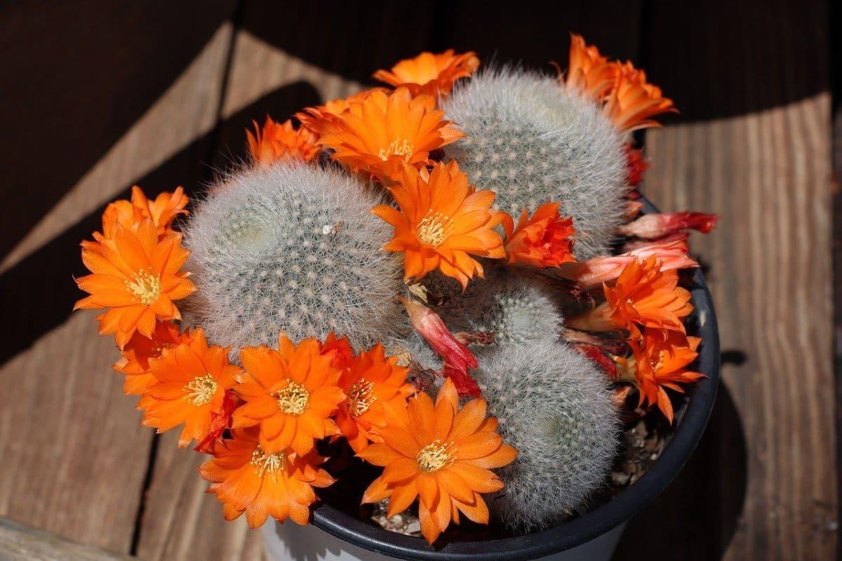 La Rebutia muscula es una especie de cactus globular