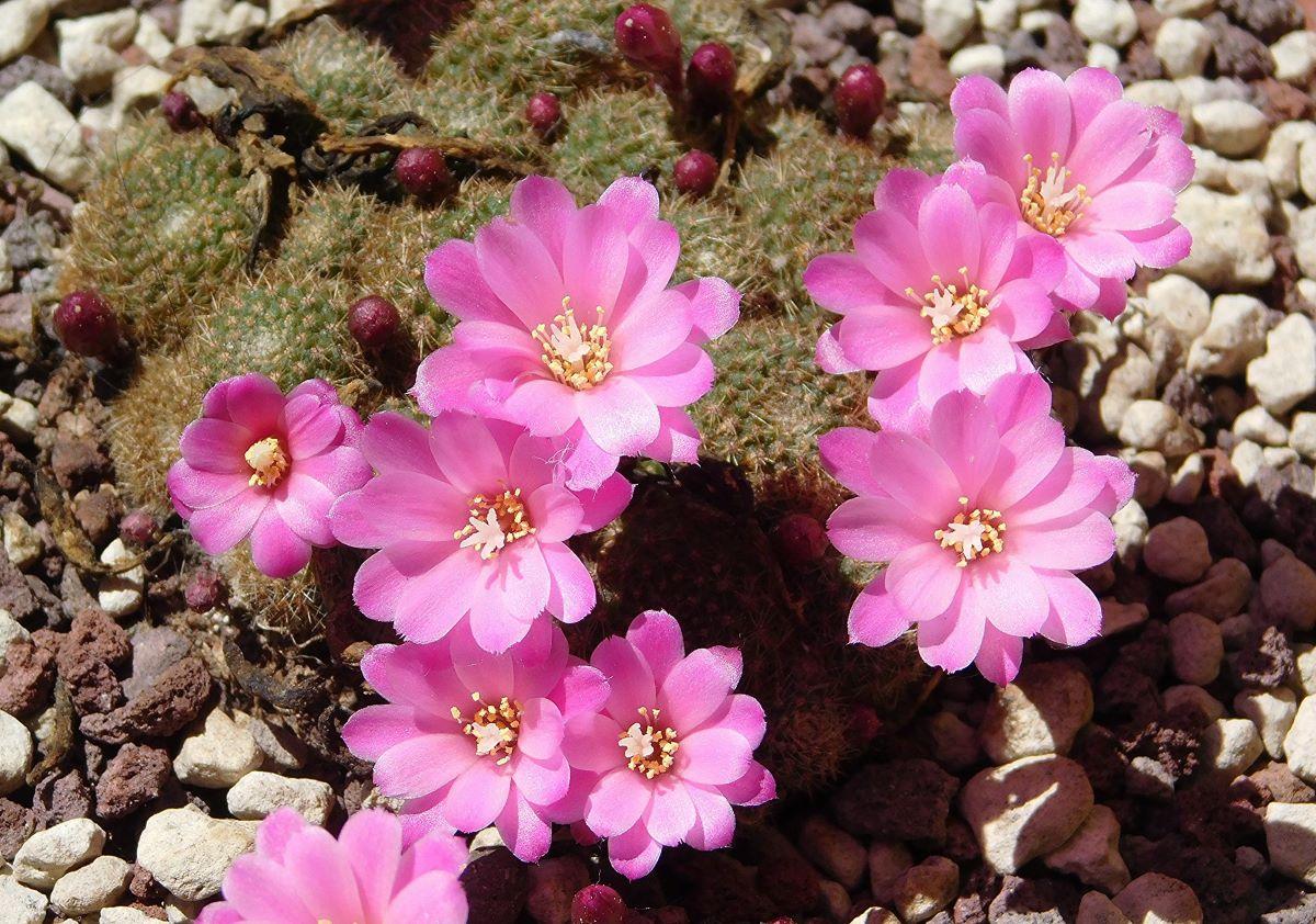 La Rebutia perplexa tiene flores rosas