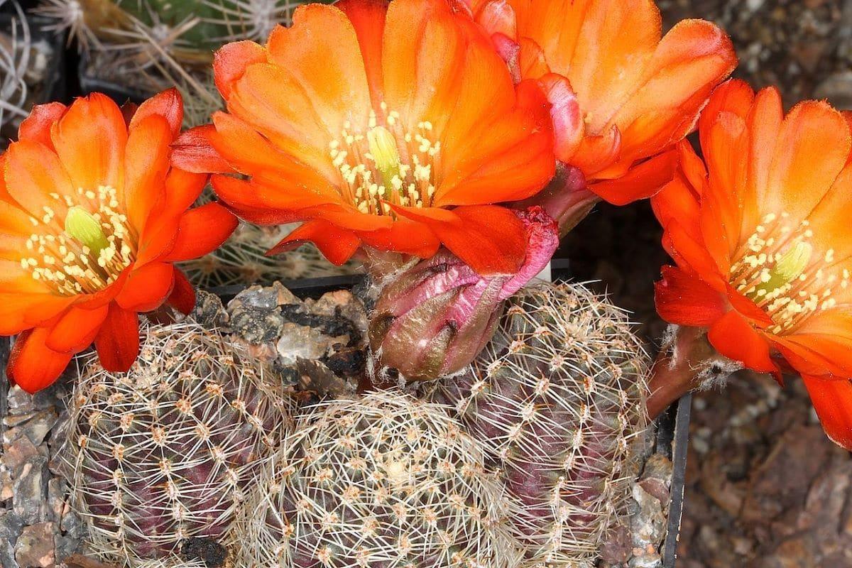 La Rebutia pygmaea es un cactus muy pequeño