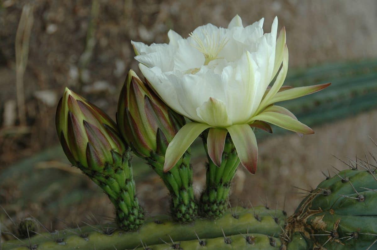 El Echinopsis peruviana es columnar