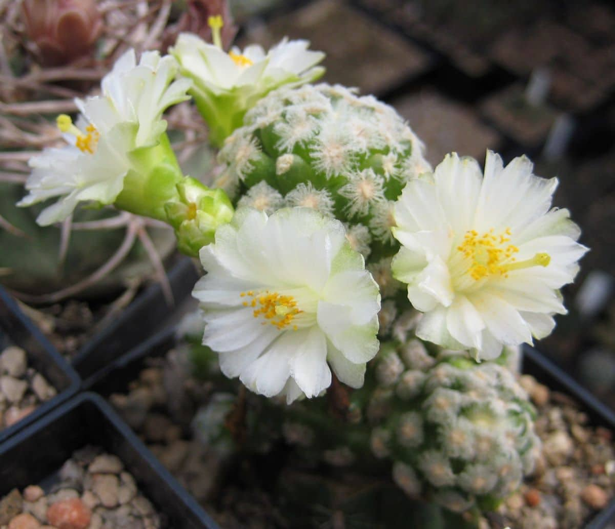La Mammillaria theresae es un cactus de flores pequeñas