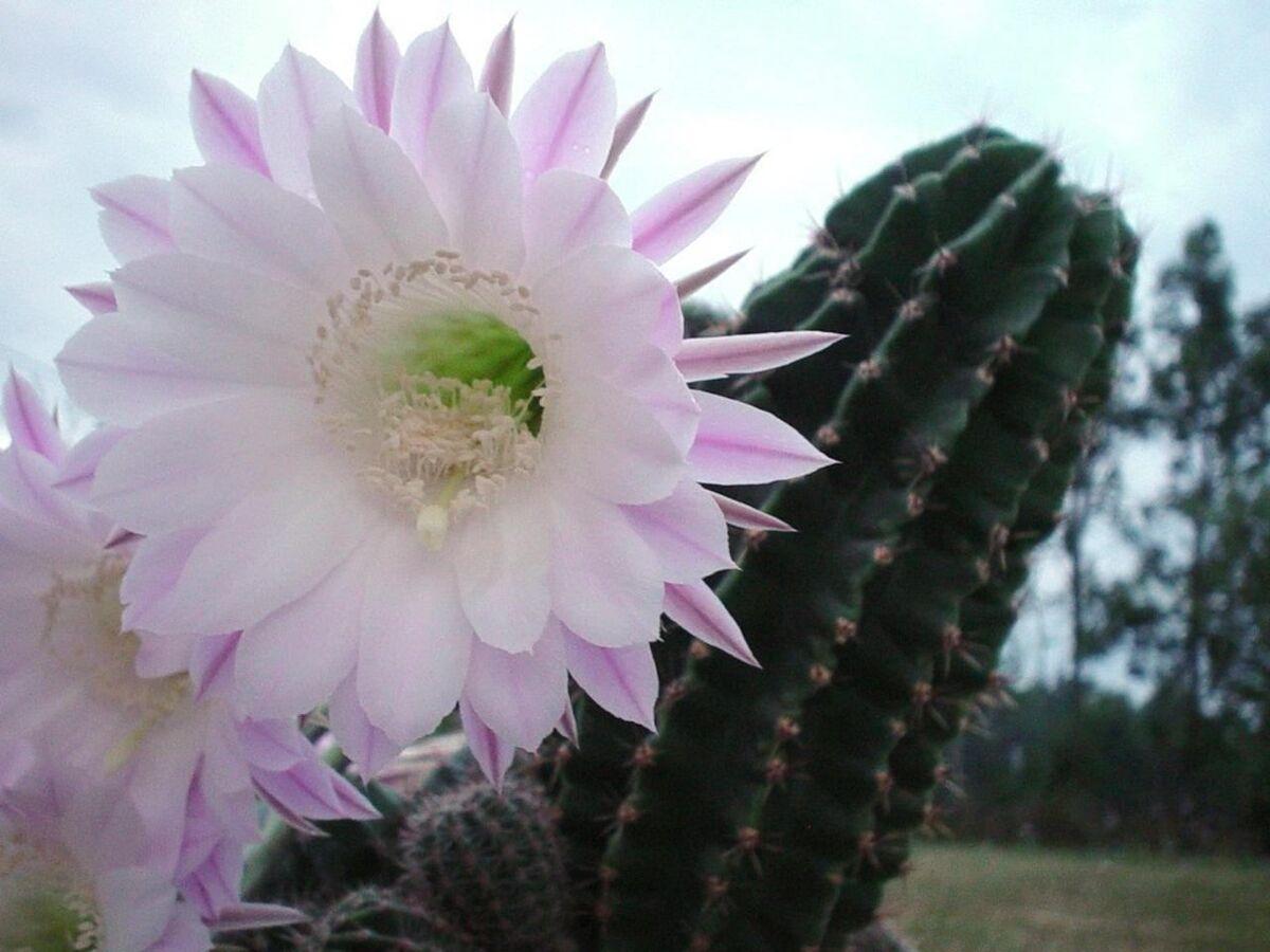 Los abonos para cactus pueden ser líquidos o en polvo