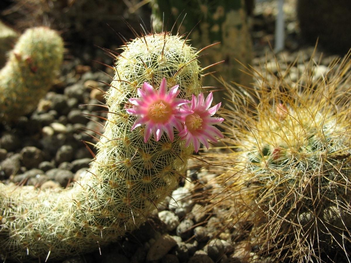 Los cactus se han de abonar regularmente