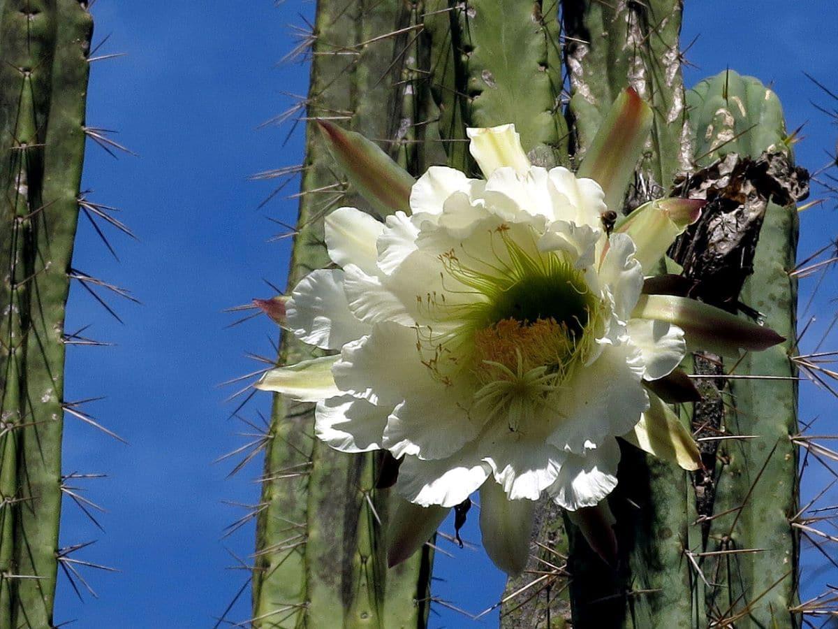 El Echinopsis peruviana es un cactus que produce flores blancas