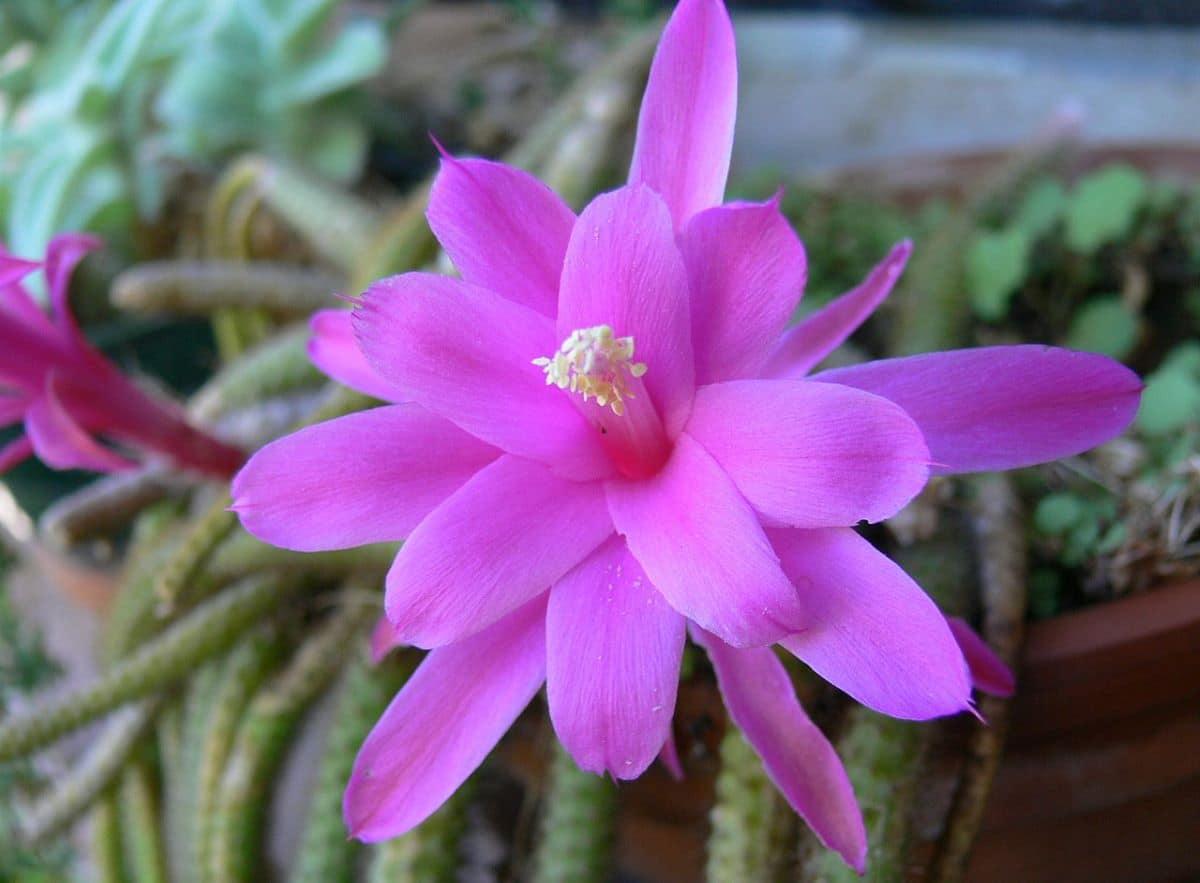 El Disocactus es un cactus con flores epífito