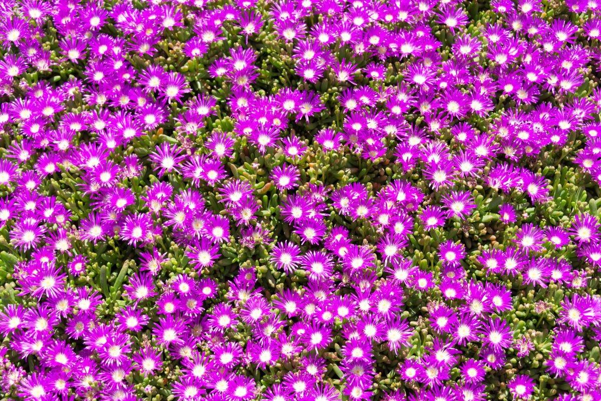 Hay muchas crasas colgantes con flores