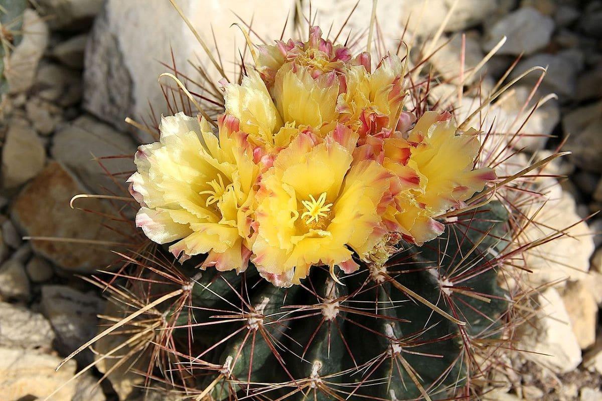 El Ferocactus hamatacanthus tiene las flores amarillas