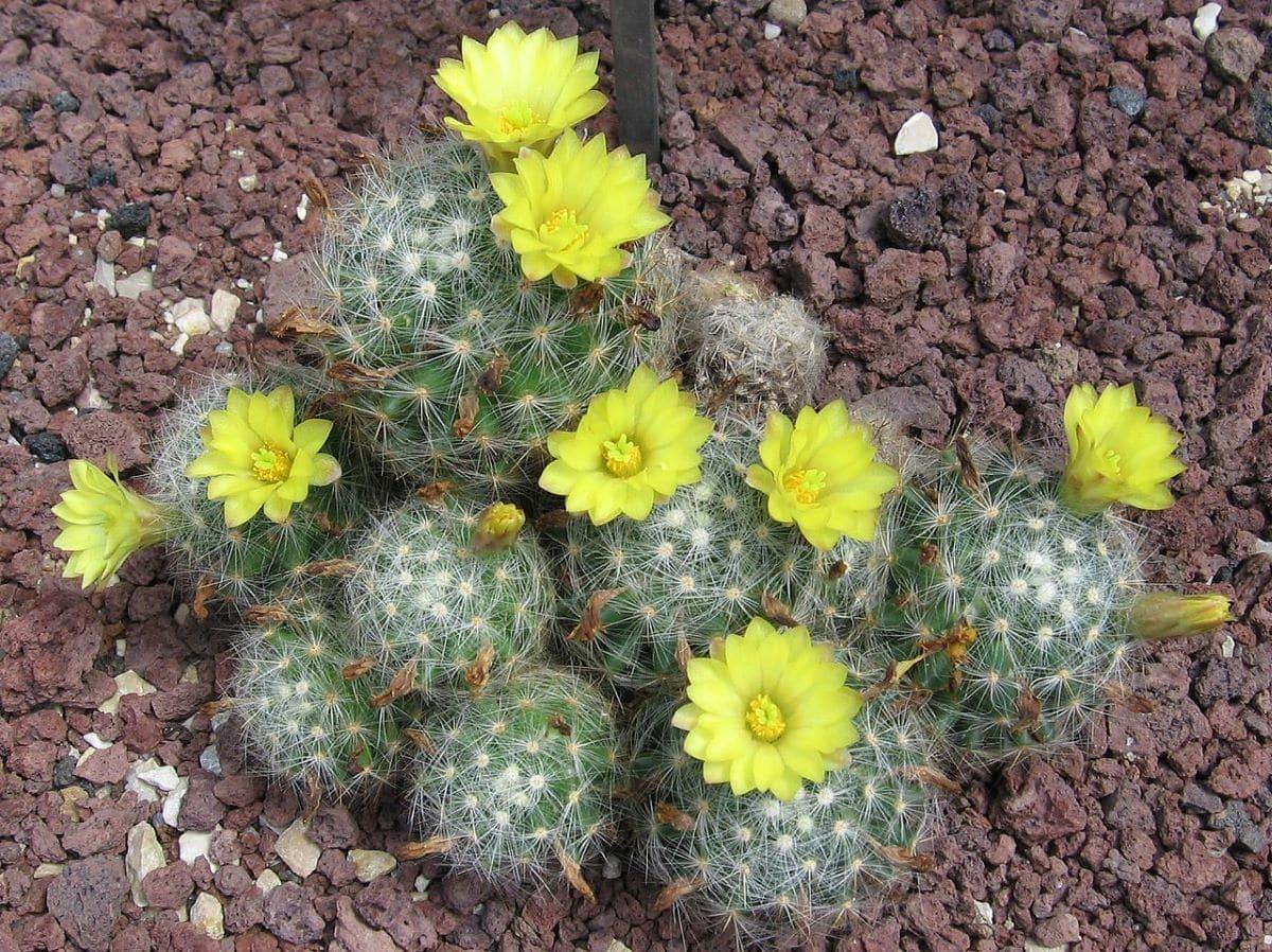 La Mammillaria baumii es un cactus con flores amarillas