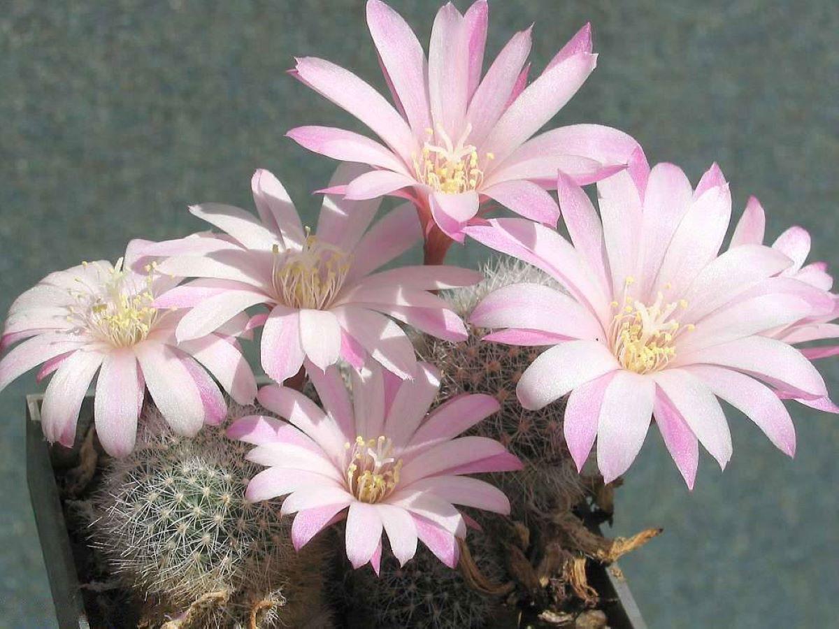 La Rebutia narvaecensis es un cactus espinoso