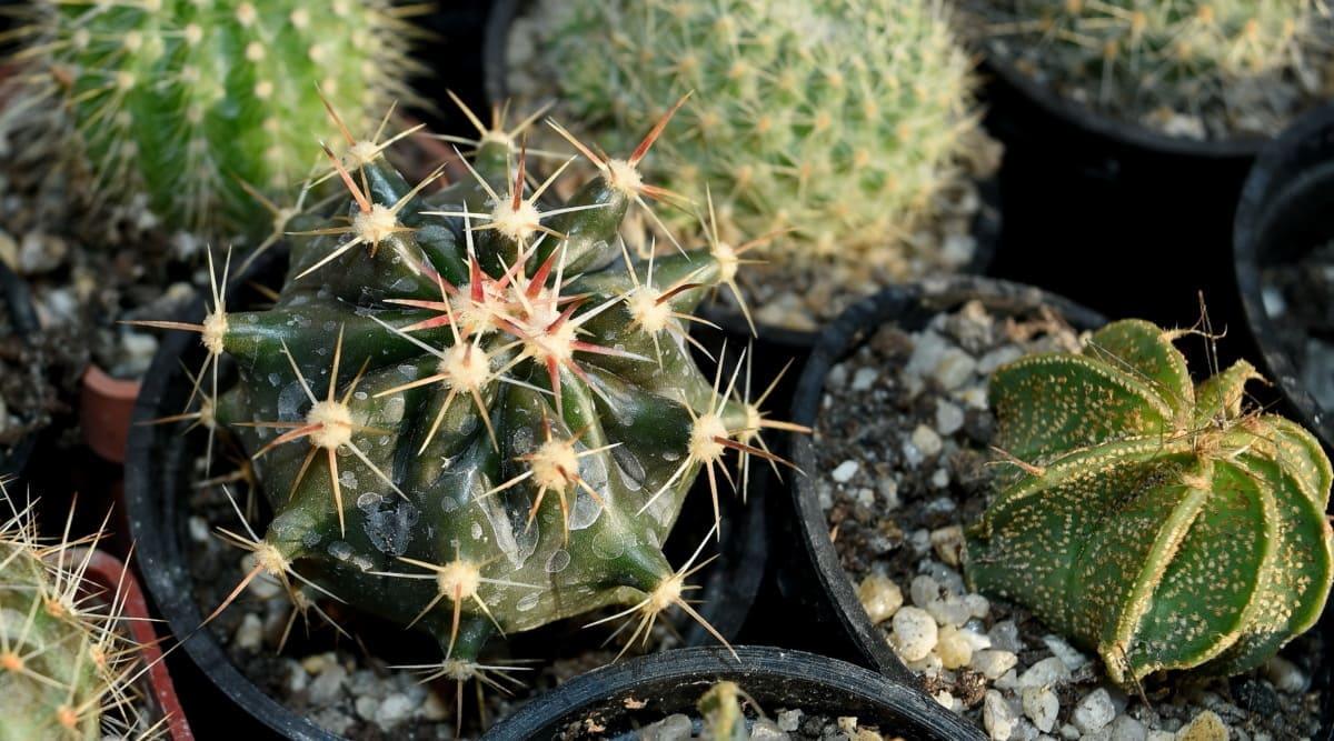 Para plantar cactus se necesitan guantes