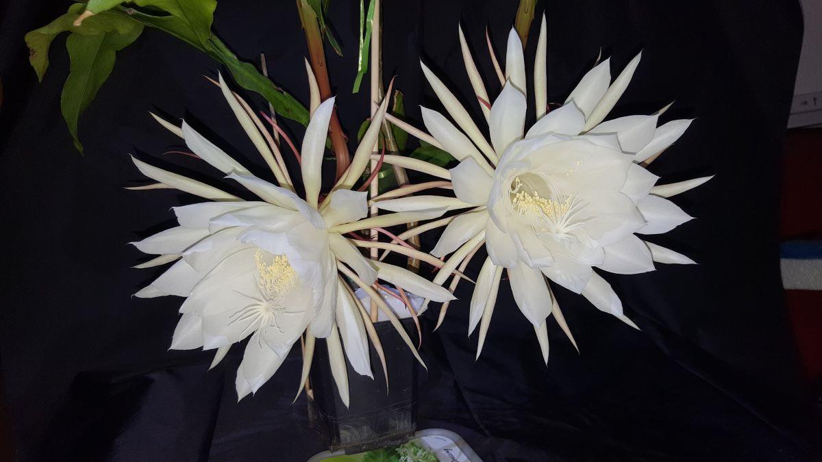 La dama de noche es un cactus con flores blancas