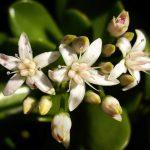 La Crassula ovata tiene flores blancas