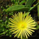 Las flores de la Fenestraria aurantiaca son amarillas