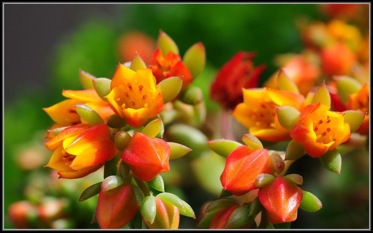 Las flores de las plantas crasas son muy vistosas