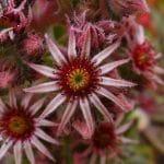 Las flores del Sempervivum tectorum son rojizas