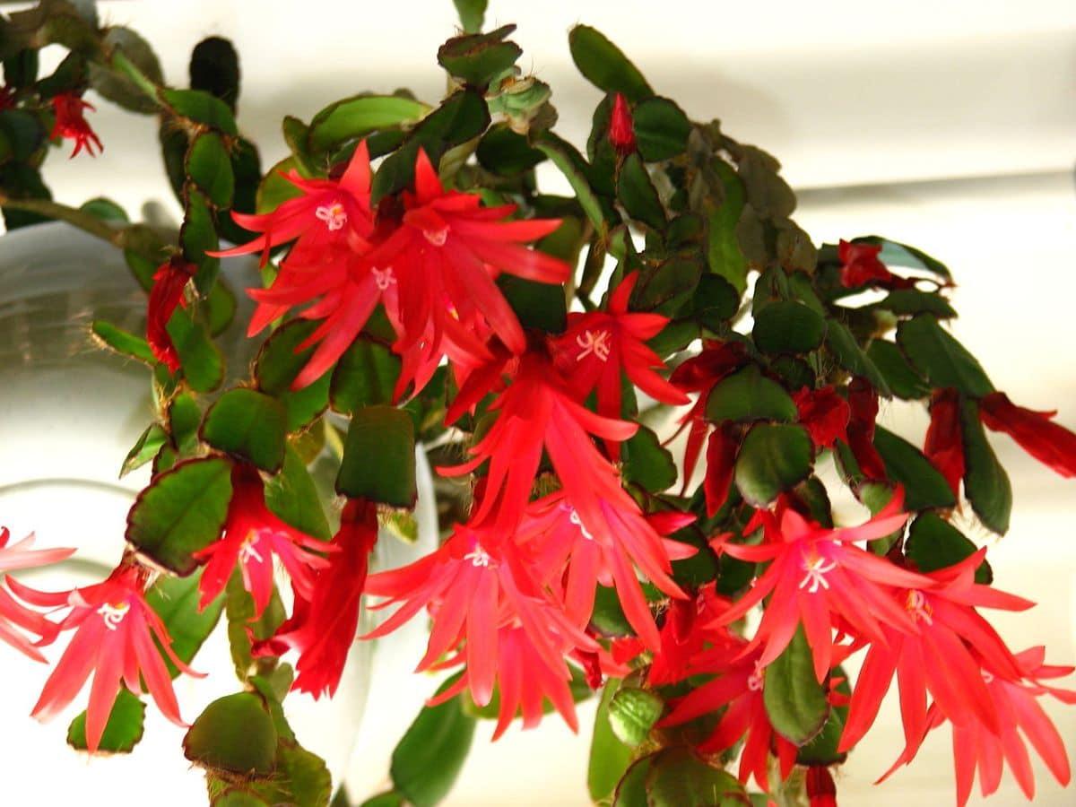 La Hatiora gaertneri es un cactus con flores rojizas