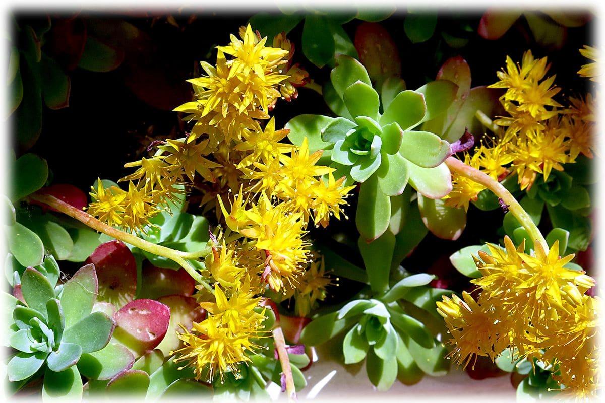 El sedum palmeri tiene flores amarillas