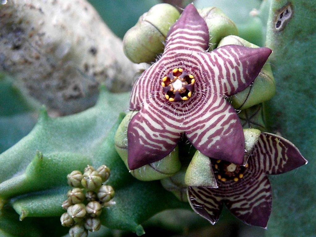 La Caralluma es una planta suculenta