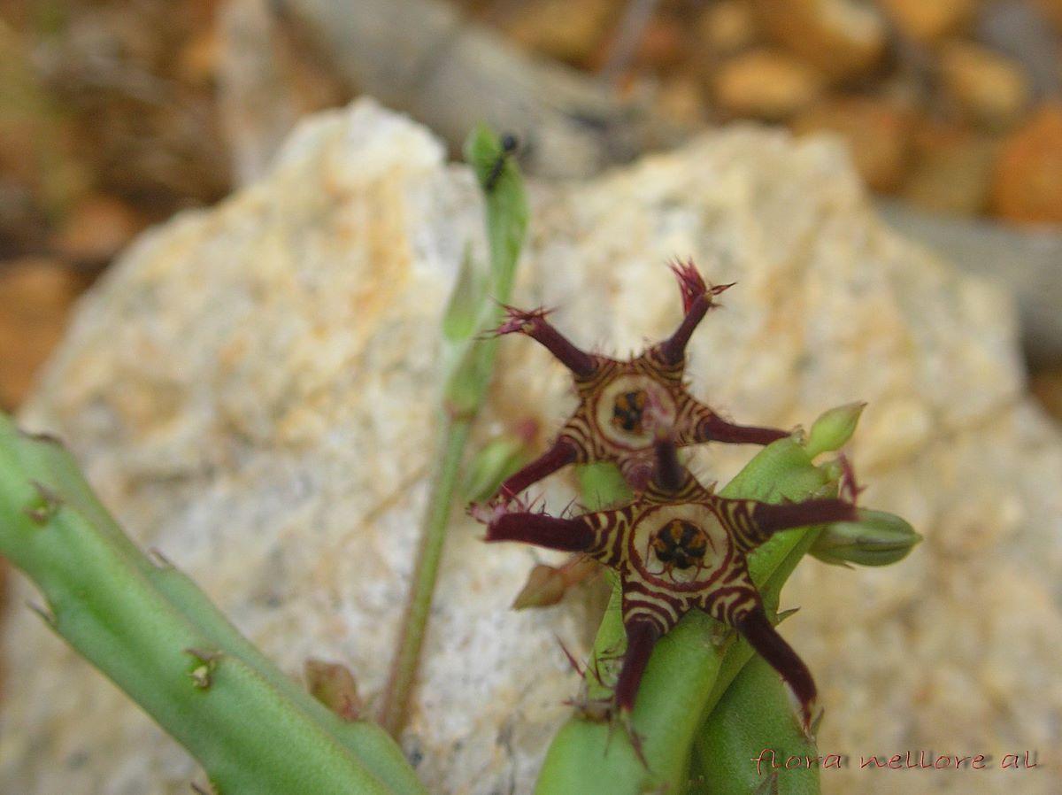 La Caralluma fimbriata es una planta suculenta