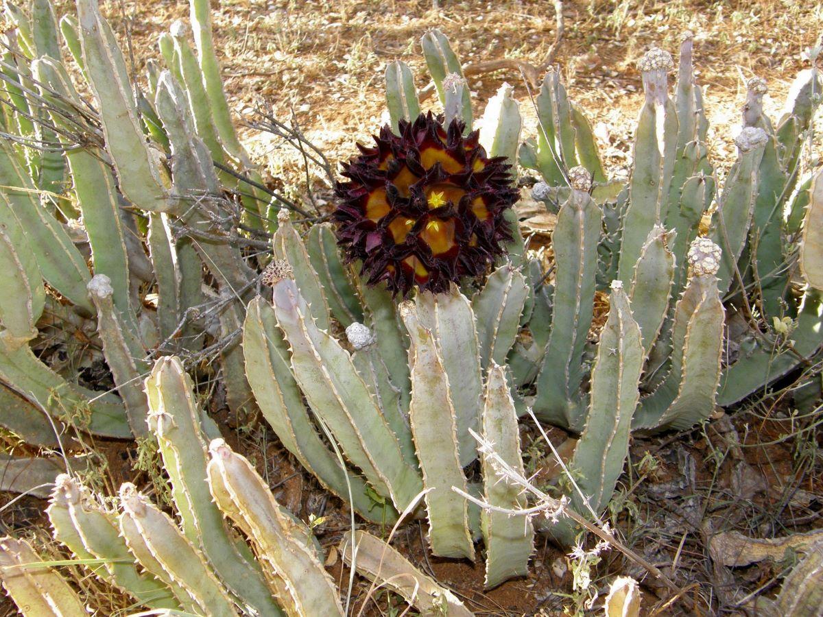 La Caralluma speciosa tiene flores rojas y amarillas