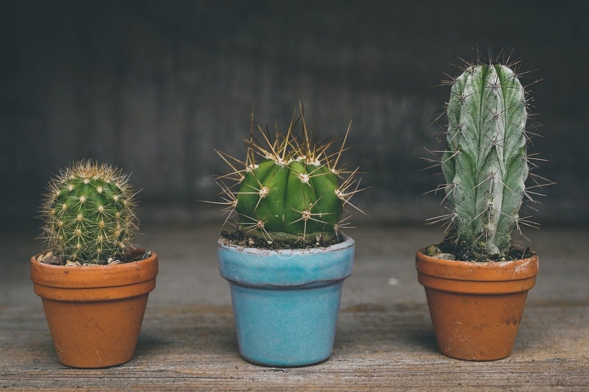 Las macetas de los cactus han de tener agujeros