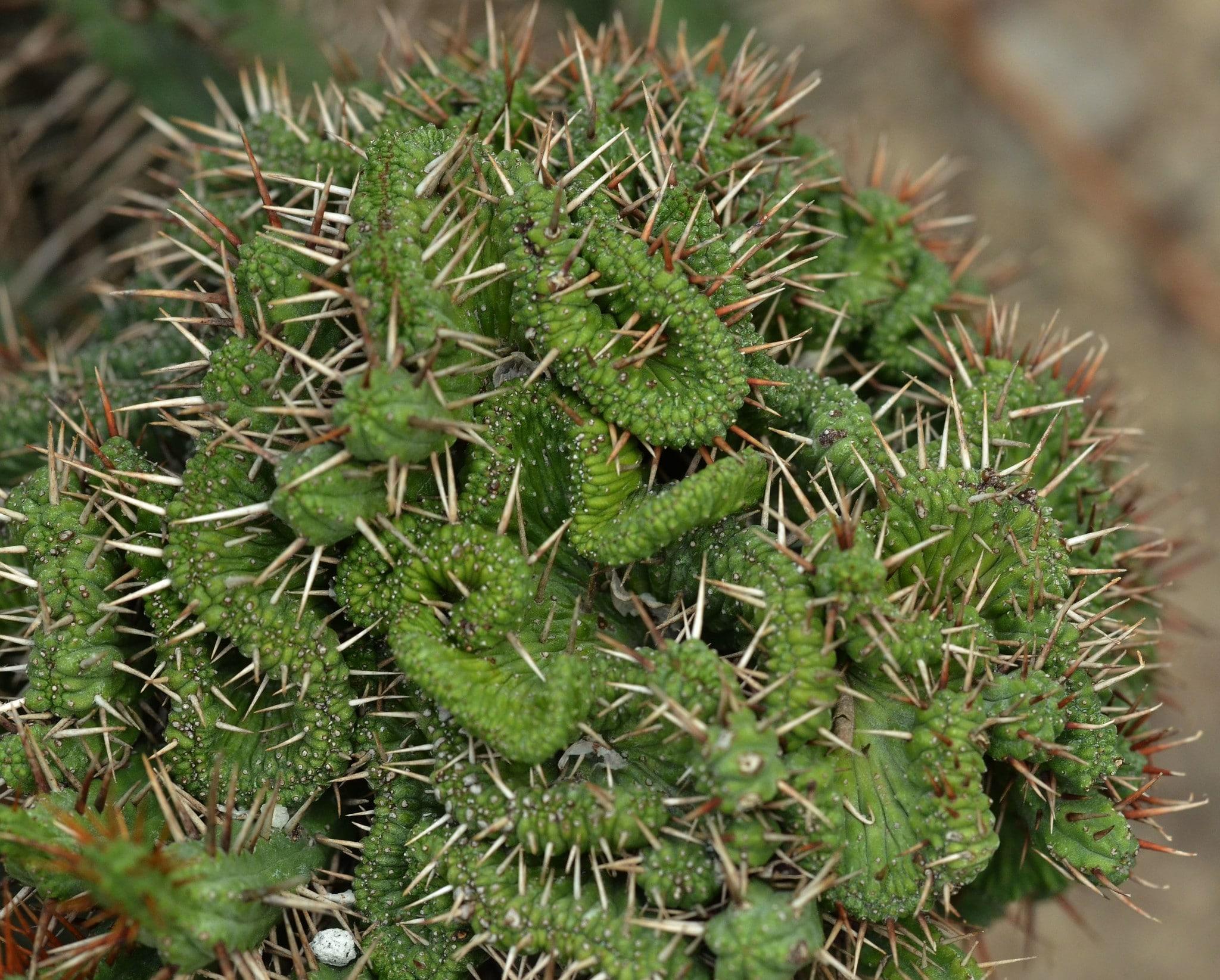 La Euphorbia enopla f cristata es rara