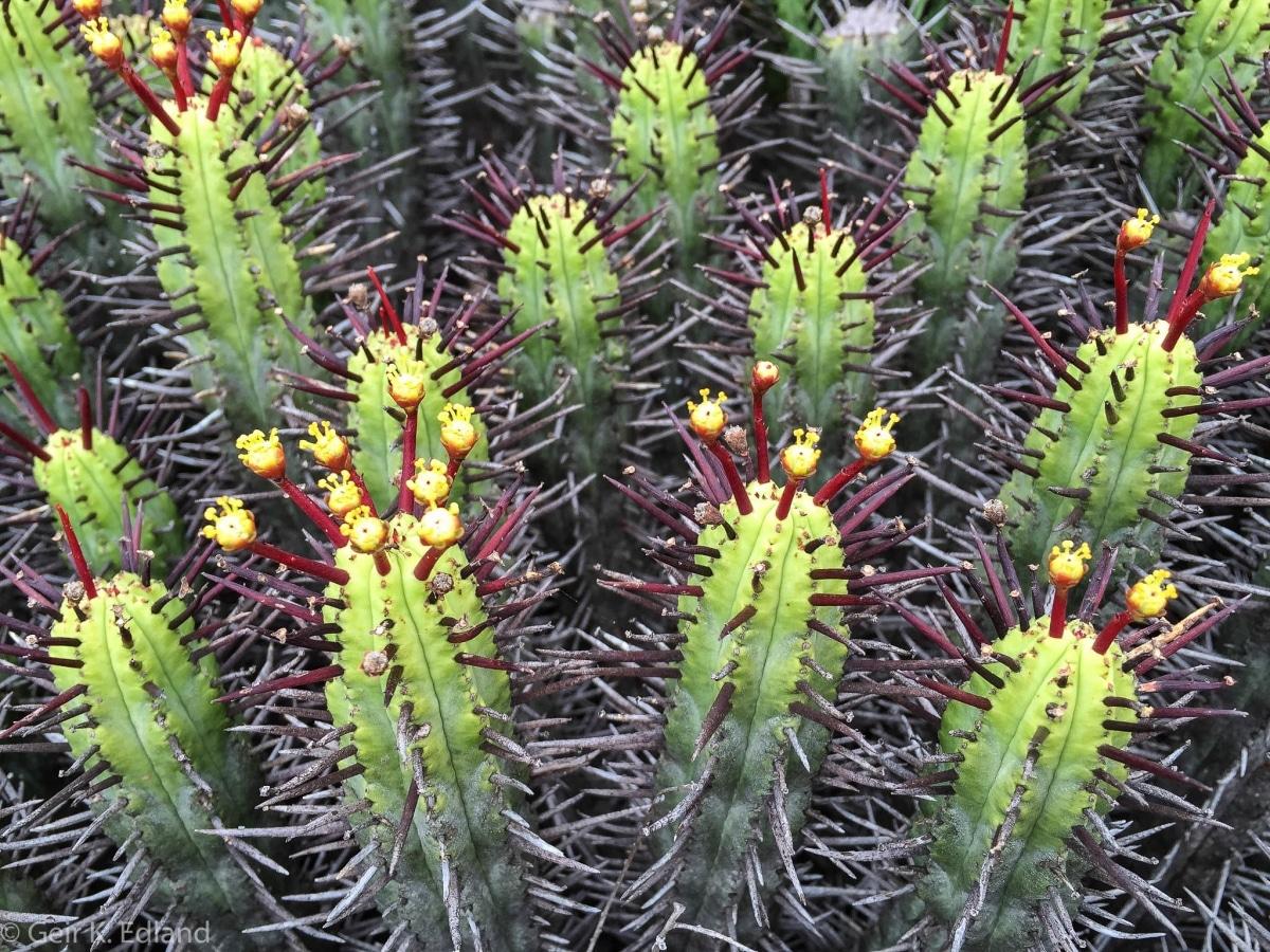 La Euphorbia enopla es una suculenta espinosa