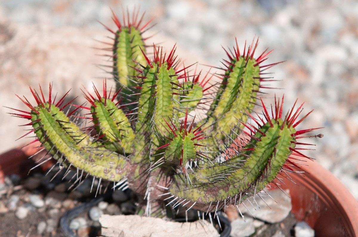 La Euphorbia enopla es una crasa muy popular
