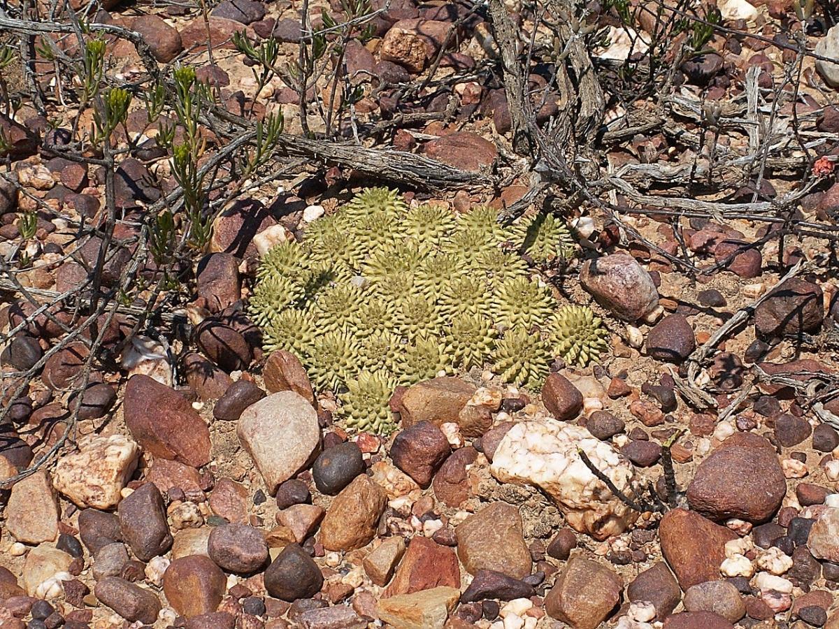 La Euphorbia suzannae es una crasa sensible al frío