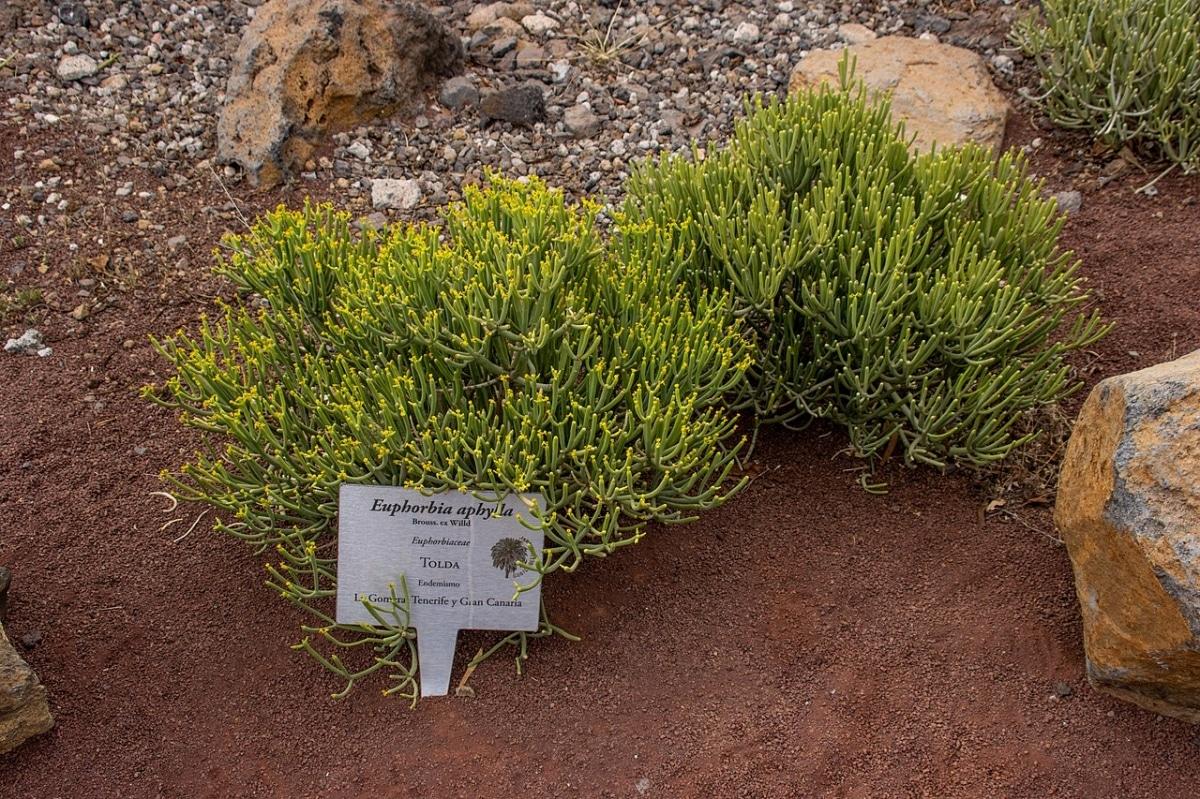 La Euphorbia aphylla es una planta resistente
