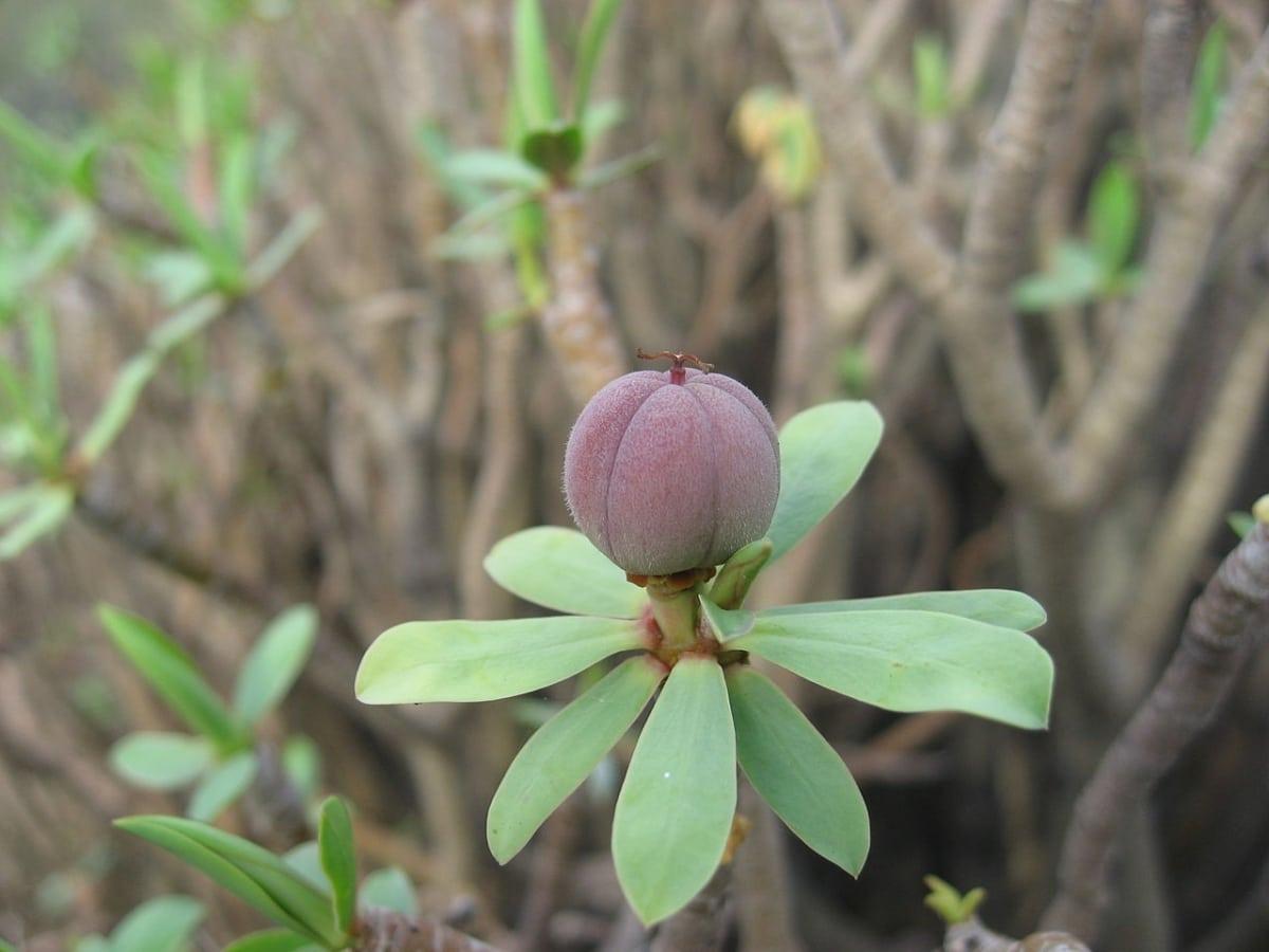 La Euphorbia balsamifera es una planta perenne