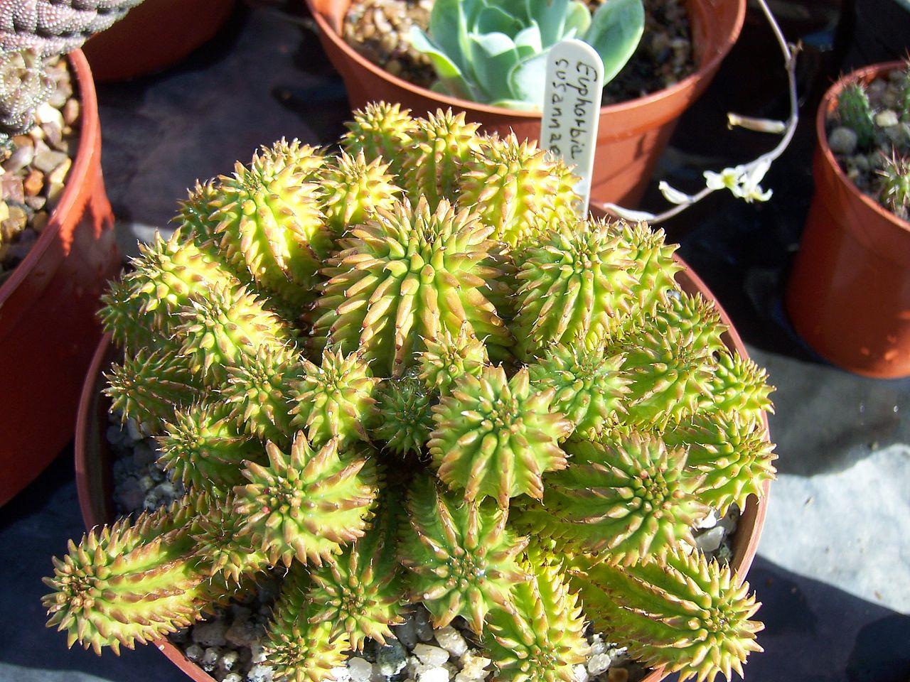 La Euphorbia suzannae es una suculenta pequeña