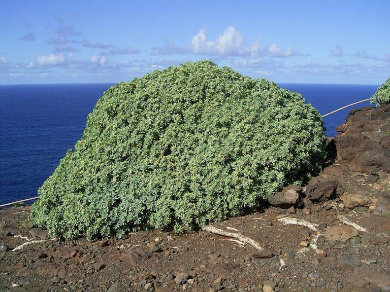 La tabaiba dulce es un arbusto perennifolio