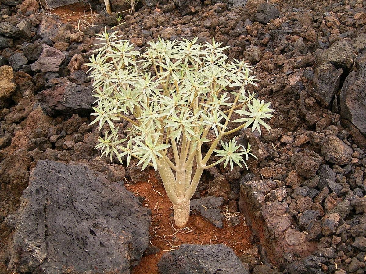 La Euphorbia balsamifera es una planta suculenta