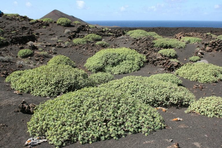 La Euphorbia regis jubae es una planta suculenta